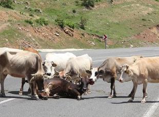 Yaralı ineği yalnız bırakmadılar