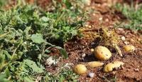 Çiftçiler patatesi tarlada bekletiyor