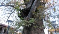 Bu ağaç tam bin 224 yaşında