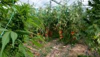 Serada domates yerine kenevir yetiştirmişler