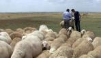 Çobanların evlenememe isyanı
