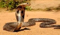 Kaybolan kobra yılanı paniğe yol açtı