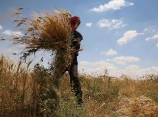 Suriyede bombardıman tehdidi altında hasat