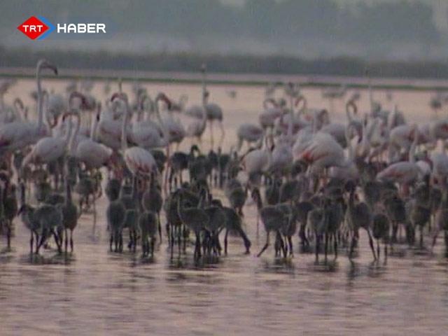 """Flamingolar İçin """"Kuluçka Adası"""" Kuruluyor"""