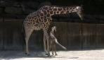 Yavru Zürafanın İlk Adımları