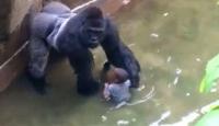 ABDde goril tartışması devam ediyor