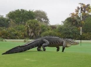 Golf sahasına giren dev timsah