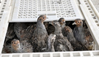 Kekliklere takip cihazlı koruma