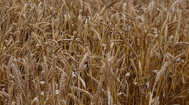 Yeni tarım ürünleri küresel ısınmanın hızına yetişemeyebilir