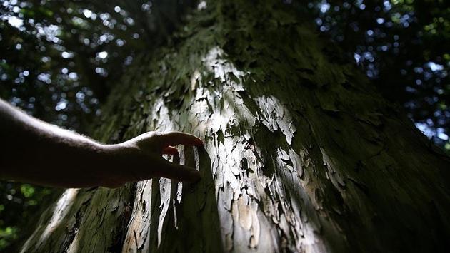 Dünyanın bilinen en yaşlı 5 ağacından biri Zonguldak'ta