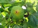 Yediveren inciri hasadı başladı