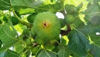 """""""Yediveren inciri"""" hasadı başladı"""
