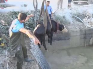 Havuza düşen ineği itfaiye ekipleri kurtardı