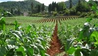 Tütün yeniden Bafralı çiftçinin gözde ürünü oldu