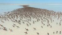 Binlerce flamingo Tuz Gölünde dünyaya gözlerini açtı