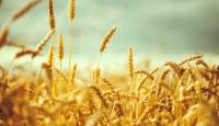 TMOnun buğday alım fiyatları