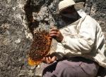 """""""Firari"""" arıların izini sürerek bal topluyor"""