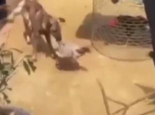 Tavuklar birbirine girdi, köpek de gerginlikten nasibini aldı