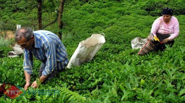 Çay Üreticilerine Müjde