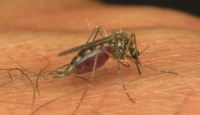 Sivrisinekler Bu Kokuya Bayılıyor
