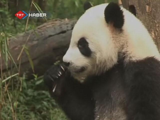 pandalar koruma altında