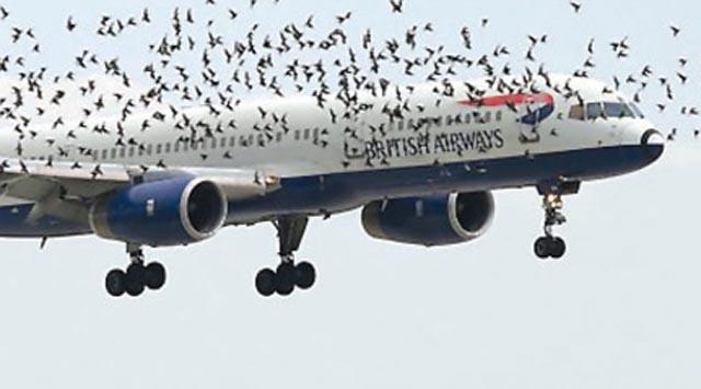 Leylek sürüleri, hava trafiğini etkiliyor