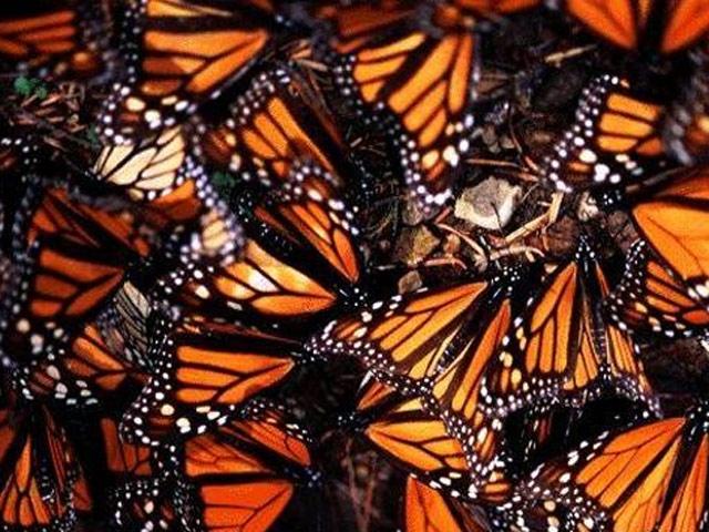 Kral Kelebeklerini Kuraklık Vuruyor
