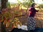 Fıstık üreticilerini hasat telaşı sardı
