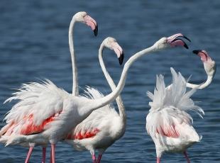 İzmir'de yavru flamingolar