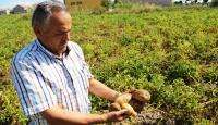 Yazlık patates hasadı geciktiriliyor