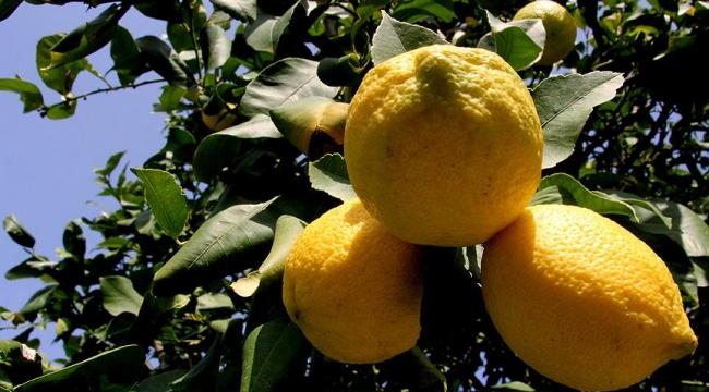 Mersinde limon hasadı başladı