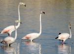 Flamingolar, Beyşehir Gölünde mola verdi
