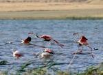 Vanda flamingoların görsel şöleni başladı