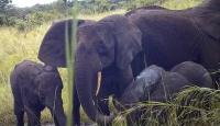 Afrika orman fillerinin sayısı azalıyor