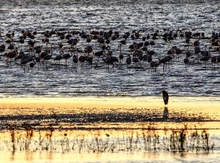 Flamingoların göç hazırlığı