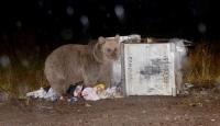 Aç kalan ayılar çöp konteynerlerini mesken tuttu