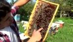 """Kraliçe arılar """"ekmek kapısı"""" oldu"""