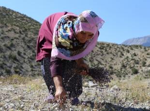 Kadınlar, geçimini dağda bitki toplayarak sağlıyor