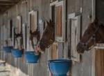 Safkan Arap atları Suruç Ovasında yetişiyor