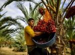 Gazzede hurma hasadı