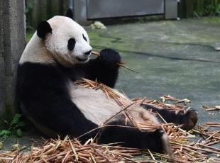 Pandalara yoğun ilgi