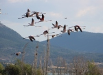 """Genç flamingolar """"büyük göçe"""" hazırlanıyor"""