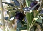 Yeniden dikilen 800 yıllık zeytin ağacı meyve verdi