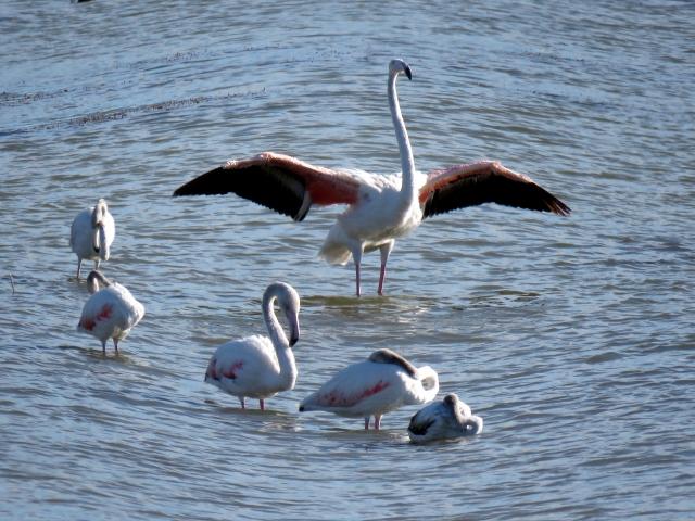 Genç flamingolar büyük göçe hazırlanıyor