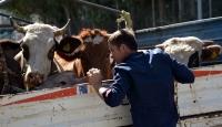 Polisin durdurduğu kamyonetten çalıntı inek çıktı