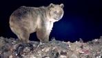 Göçmen boz ayılar Şavşat'ta beslenip Sarıkamış'ta uyuyor