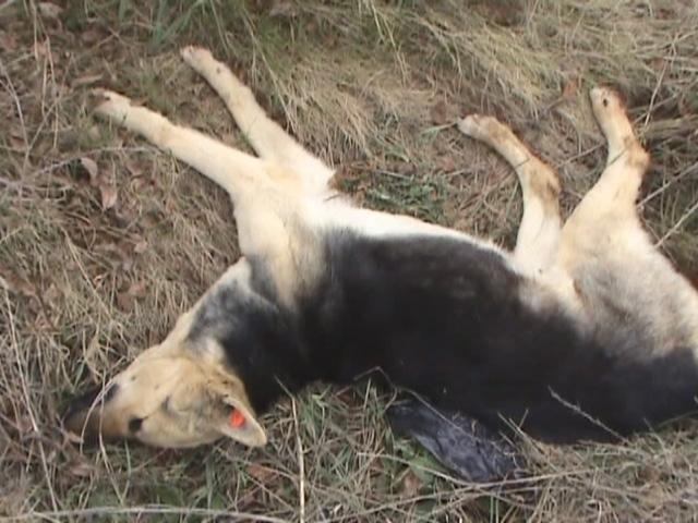 Gebzede Köpek Katliamı