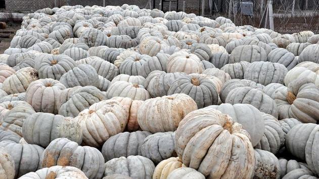 Bal kabağı üreticisinde hayal kırıklığı
