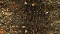 Küresel istila potansiyeli taşıyan karınca türü keşfedildi