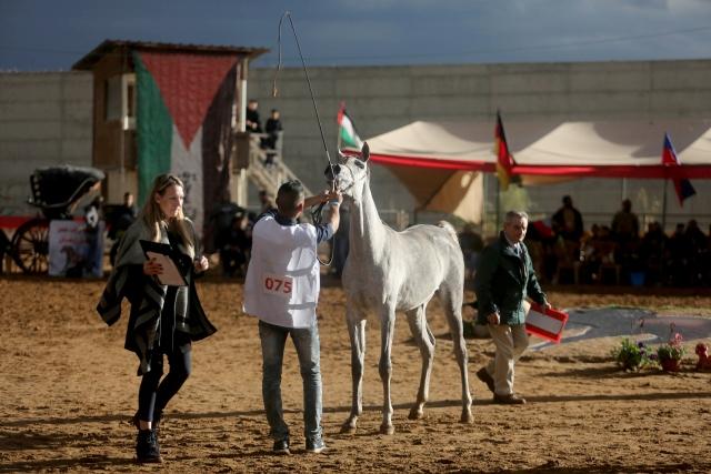 Arap Atları Güzellik Yarışması